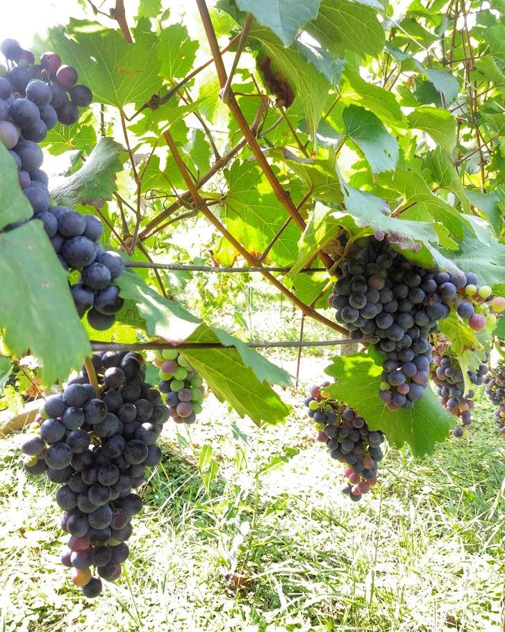 Detail vinice