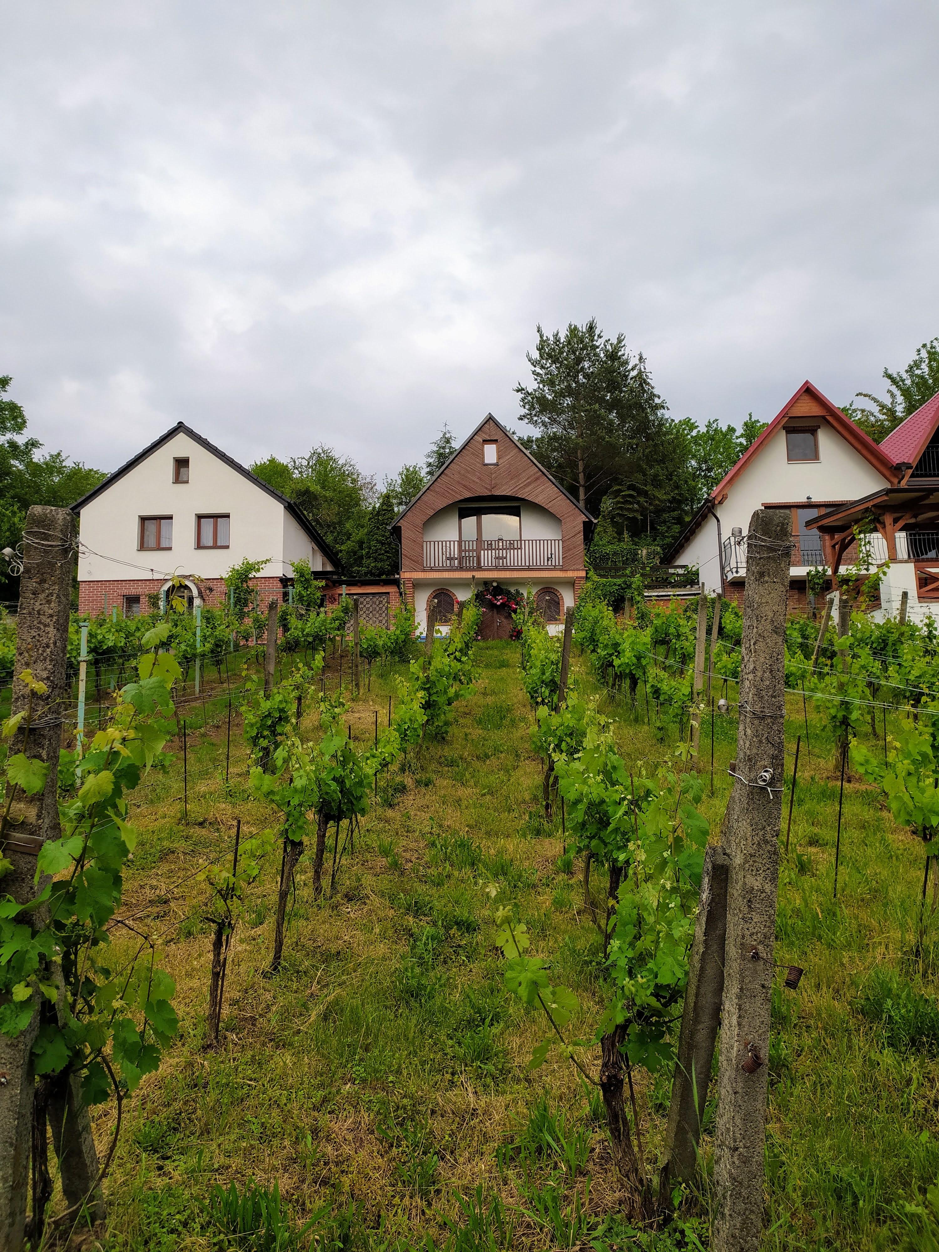 Pohled na vinici a sklep - léto 2020